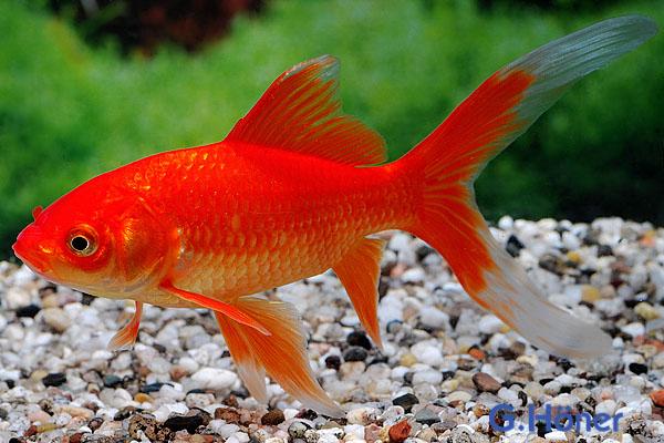 Kaltwasser goldfische g h ner zierfischgro handel for Gartenteichfische arten