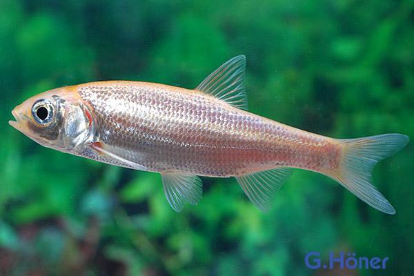 Goldorfe 10 12 cm g h ner zierfischgro handel for Goldorfe fisch