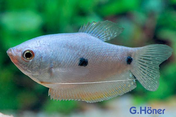 G h ner zierfischgro handel categories labyrinthfische for Fadenfische zucht